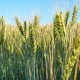 Yellow Field of Rye - VideoHive Item for Sale