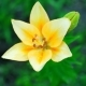 Yellow Lily in the Garden Pouring Rain Feeds the Soil for Flowers Growing in the Yard - VideoHive Item for Sale
