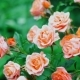 Beautiful Roses Bush in the Garden. Pouring Rain Feeds the Soil for Flowers Growing in the Yard - VideoHive Item for Sale