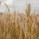 of Wheat Field Caressed By Wind, - VideoHive Item for Sale