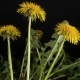 Dandelion Flowers Blossom - VideoHive Item for Sale
