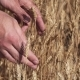 Agronomist's Hands Extract Several Grains of Wheat From Ripe Ears - VideoHive Item for Sale