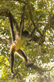 Spider Monkey Swinging From Branch - PhotoDune Item for Sale