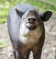 Tapir Eating Food - PhotoDune Item for Sale