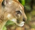 Puma Cat Portrait - PhotoDune Item for Sale