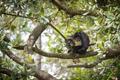 Yucatan Spider Monkey - PhotoDune Item for Sale