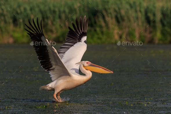 white pelican in Danube Delta, Romania - Stock Photo - Images
