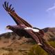 Aquilla Verreauxii (Black eagle)