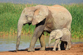 African elephant with calf - PhotoDune Item for Sale