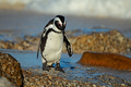 African penguin on the beach - PhotoDune Item for Sale