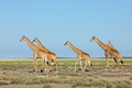 Giraffes walking over Etosha plains - PhotoDune Item for Sale