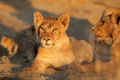 African lion cub - South Africa - PhotoDune Item for Sale
