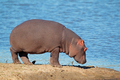 Hippopotamus on land - PhotoDune Item for Sale
