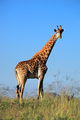 Giraffe bull - South Africa - PhotoDune Item for Sale