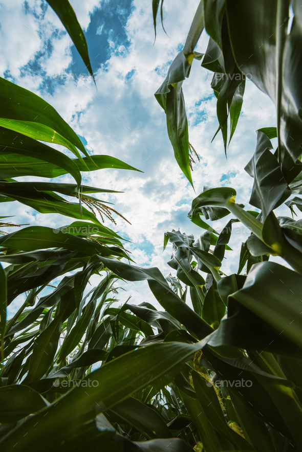 Corn crop from below - Stock Photo - Images