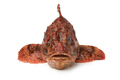 Fresh raw red scorpionfish in front view - PhotoDune Item for Sale