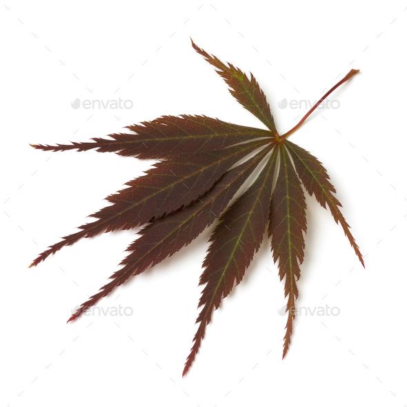 Single fresh brown Japanese maple leaf - Stock Photo - Images