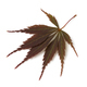Single fresh brown Japanese maple leaf - PhotoDune Item for Sale
