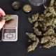Male Drug Dealer Weighing Fresh Cannabis Bud Marijuana Weed on the Scales - VideoHive Item for Sale