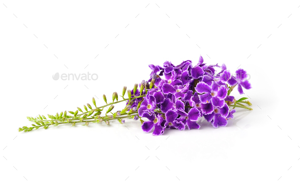 purple flowers, isolated on white background - Stock Photo - Images