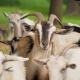 Farm Animals.Goats - VideoHive Item for Sale