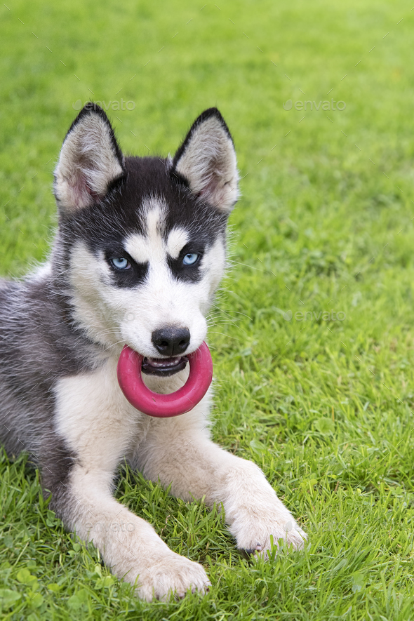 siberian husky puppy play stock photoperutskyy | photodune