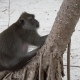 Fat Monkey on Tropical Island Beach in Thailand - VideoHive Item for Sale