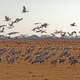 Cranes taking off From a Farm Field in Migration - PhotoDune Item for Sale