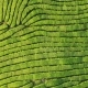 Drone Shot of Top View on Green Tea Plantation - VideoHive Item for Sale