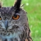Cinemagraph of Owls Face and Eyes Moving - VideoHive Item for Sale