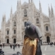 Pigeons Eat Bread on the Duomo Cathedral Milan - VideoHive Item for Sale