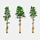 3 Species Of Pine - VideoHive Item for Sale