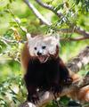 Red Panda Rests on Branch in between feedings - PhotoDune Item for Sale