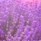 Lavender Field, Beautiful Tender Lavender Flowers. 120Fps. - VideoHive Item for Sale