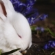 White Easter Bunny Is Washing in the Early Spring Morning - VideoHive Item for Sale