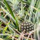 Pineapple are growing in farm - PhotoDune Item for Sale