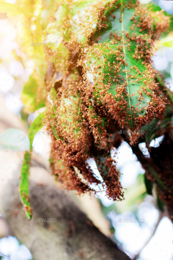 Ants nest on trees - Stock Photo - Images