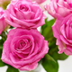 Bouquet of pink roses - PhotoDune Item for Sale