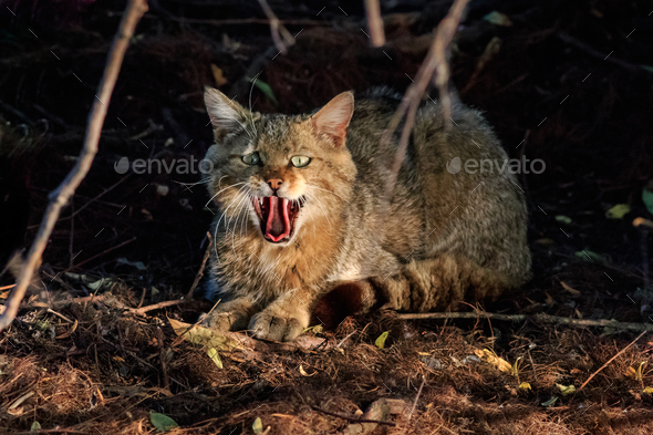 wild cat in natural habitat - Stock Photo - Images