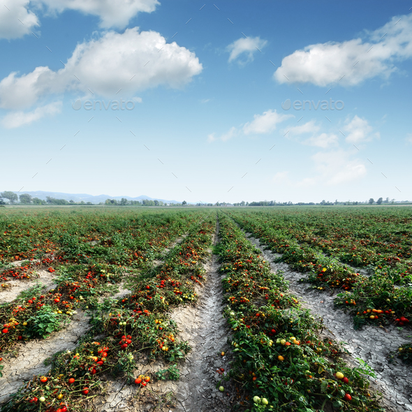 Tomato field on summer day - Stock Photo - Images