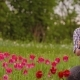 Female Researcher Walking While Examining Tulips At Field - VideoHive Item for Sale