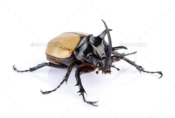 Big horned beetle on white background - Stock Photo - Images