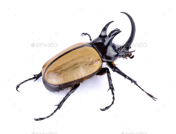 Big horned beetle on white background - Stock Photo - Images