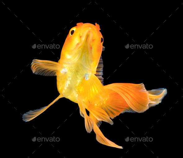 gold fish - Stock Photo - Images