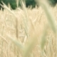 Wheat Field in Breeze - VideoHive Item for Sale