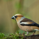 Hawfinch (Coccothraustes coccothraustes) perching - PhotoDune Item for Sale