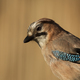 Portrait of European Jay (Garrulus glandarius) - PhotoDune Item for Sale