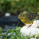 Yellow hammer (Emberiza citrinella) eats sunflower seeds - PhotoDune Item for Sale