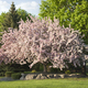 Beautiful flowering crabapple tree in Minnesota - PhotoDune Item for Sale