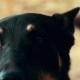 Black German Shepherd Dog Looking in Camera. Portrait Black Shepherd - VideoHive Item for Sale
